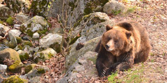 Αρκουδα επιτεθηκε σε δυο σταβλους στην Σαμαρινα.